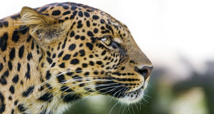 Profile of a leopard